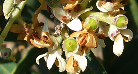 Oliven im frühesten Stadium - fast noch Blüten... (Seillans, Anfang Juli 2010)