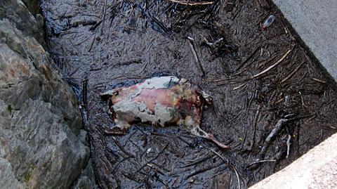 Blöker, dead: Totes Schaf im Curnerasee, netten Geruch ausstrahlend (23. August 2011)