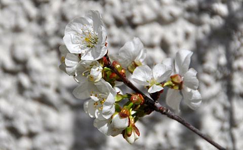 Seit 29. März am Blühen: Weichselkirschen in Bern