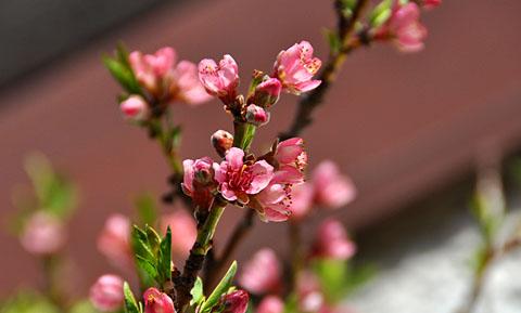 Pfirsichblüten in Bern, 31. März 2012