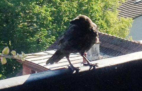 Krähe auf dem Balkon (August 2012)