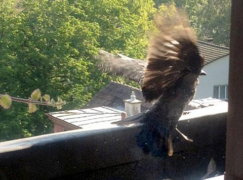 Hoppla - erschrocken und ausgerutscht: Krähe auf dem Balkon (August 2012)
