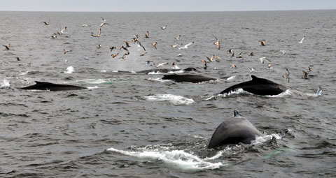 Whale Watching, Cape Cod, 18.4.2105
