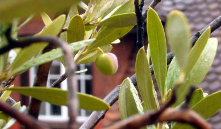 Eine einsame Olive in der Berner Altstadt (Oktober 2008)