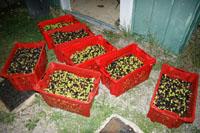 Die bisher eingefahrene Olivenernte (November 2008)