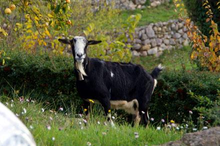 Wo sie auch immer hin gehört... die Ziege mochte auch unser Gras (November 2008)