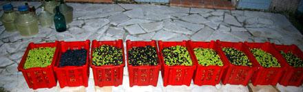 Unsere Olivenernte 2008: 211.4kg