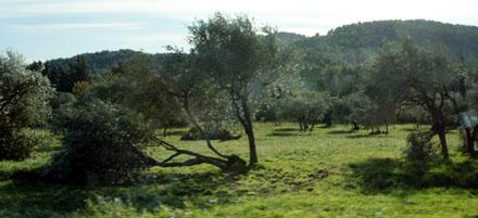Vom Sturm gefällte Olivenbäume bei Seillans (November 2008)
