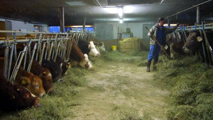 Frisches Heu fürs Vieh: Baseli im Stall (Januar 2009)