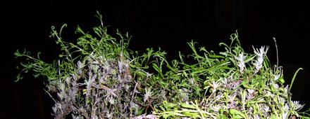 Lavendeltriebe aus dem Winterlager (April 2009)