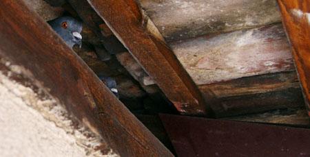 Von seltsamen Geräuschen geweckt: Tauben im Dach (Mai 2009)