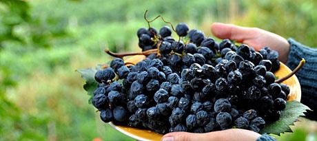 Dolcetto-Trauben frisch vom Weinberg (bei Diano d'Alba, 15. September 2009)