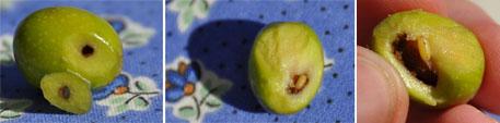 Larve der Olivenfliege (Seillans, September 2009) / Mouche de l'olive
