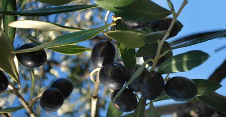 Kurz vor der Ernte: Oliven am Baum