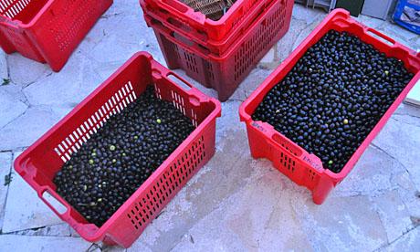 43 Kilo Oliven in zwei Kisten: Die magere Ausbeute 2009