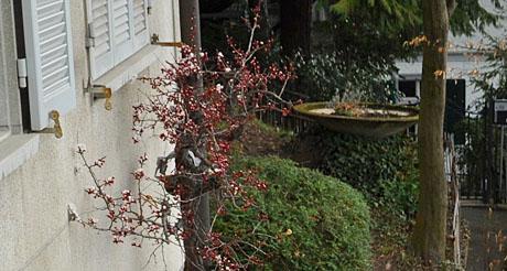 Aprikosenbaum in Bern, 26. März 2010