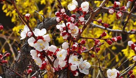 Der Aprikosenbaum vor dem Fenster blüht wunderbar