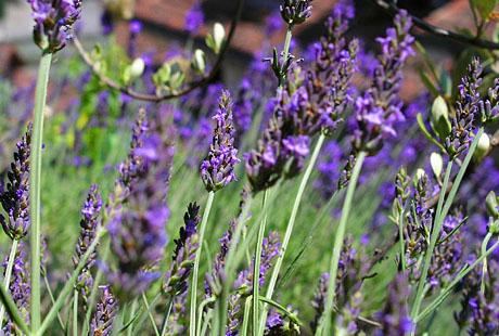 Lavendel in der Berner Altstadt (Sommer 2005)