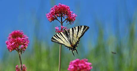 Schmetterlingsbesuch im Garten in Seillans