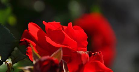 Rote Rosen aus... dem Garten von Seillans