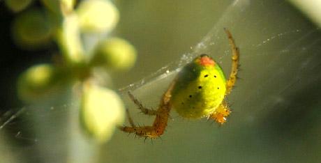 Grüne Spinne im Olivenbaum - bestens getarnt