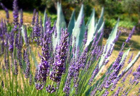 Lavendel in Seillans, Juli 2010
