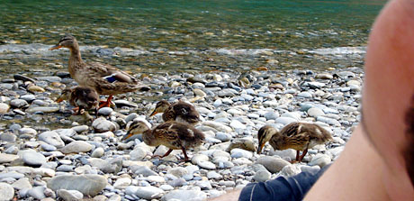 Enten und Menschen: Aare bei Bremgarten, 9. Juli 2010