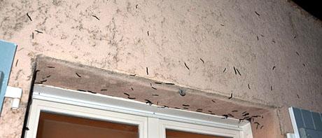 Tausendfüssler-Invasion (Seillans, August 2010)