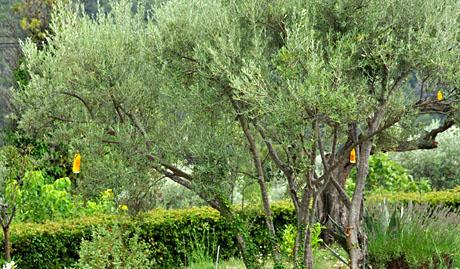 Mit Ammoniak-Wassergemisch in gelben Flaschen gegen die Olivenfliege (Seillans, August 2010)