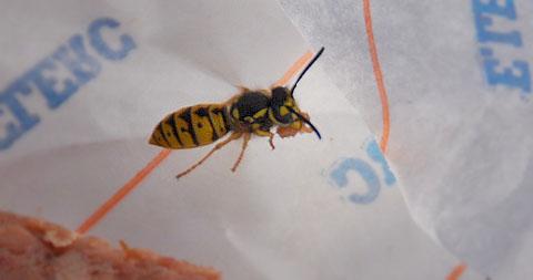 Eine Wespe schnappt sich ein Stück pâté de campagne