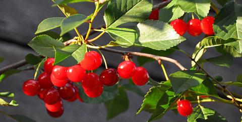 Berner Früchte, Juli 2011