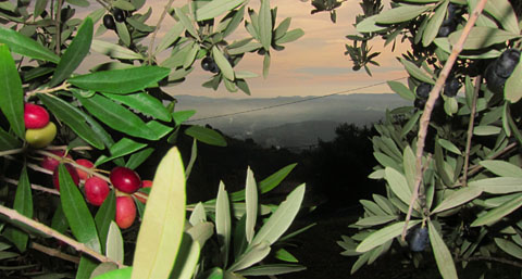 Olivenernte 2011, Seillans (Var)