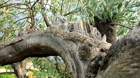 Olivenernte 2011