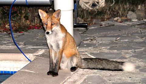 Fuchs zu Besuch in Seillans, Herbst 2009