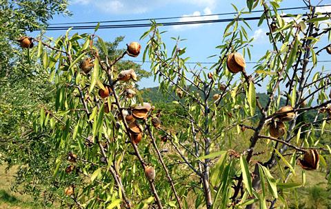 Mandeln am Baum, Sommer 2012