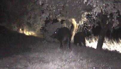 Wildschweine in Seillans (Var), Oktober 2012